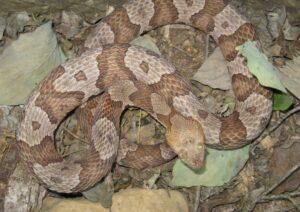 Indiana Snake